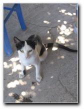 Греческая кошка